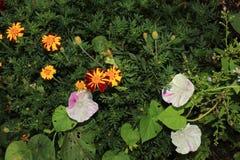 丑角一起生长万寿菊和牵牛花的植物 免版税图库摄影