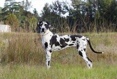 丑角丹麦种大狗狗 库存图片