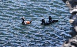 丑角为在海洋beavertail詹姆斯敦的游泳 库存照片
