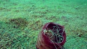 丑角游水螃蟹在淡紫色管银莲花属Cerianthus sp的Lissocarcinus laevis 6在珊瑚在祖鲁族人海Apo海岛 影视素材