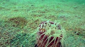 丑角游水螃蟹在淡紫色管银莲花属Cerianthus sp的Lissocarcinus laevis 6在珊瑚在祖鲁族人海Apo海岛 股票录像