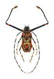 丑角甲虫 向量例证