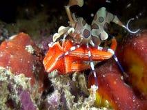 丑角虾Hymenocera picta吃着海星在夜下潜期间在印度尼西亚 影视素材