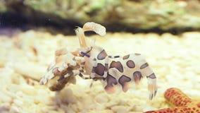 丑角虾Hymenocera picta是盐水虾的种类被找到在珊瑚礁在热带印度太平洋 股票视频
