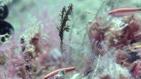 丑角鬼魂杨枝鱼在沙子的Solenostomus paradoxus在祖鲁族人海朗芒芽地 影视素材