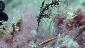 丑角鬼魂杨枝鱼在沙子的Solenostomus paradoxus在祖鲁族人海朗芒芽地 股票视频