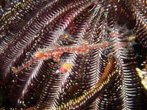 丑角鬼魂杨枝鱼被伪装反对它的主人crinoid 02 免版税库存照片