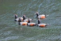 丑角鸭子beavertail在詹姆斯敦春天 库存图片