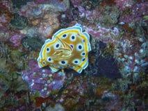 丑角nudibranch 库存照片