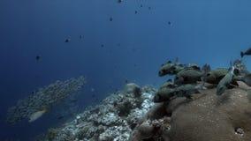丑角Sweetlips和在珊瑚礁4k的驼背红鲷鱼 股票录像