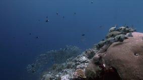 丑角Sweetlips和在珊瑚礁4k的驼背红鲷鱼 股票视频