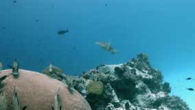 丑角Sweetlips和在珊瑚礁4k的驼背红鲷鱼 影视素材