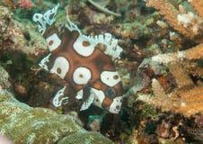 丑角sweetlips少年游泳的宏指令在巴厘岛珊瑚的  库存图片