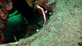丑角sweetlips,在珊瑚的被察觉的sweetlips Plectorhinchus chaetodonoides在祖鲁族人海朗芒芽地 股票录像