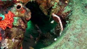 丑角sweetlips,在珊瑚的被察觉的sweetlips Plectorhinchus chaetodonoides在祖鲁族人海朗芒芽地 股票视频