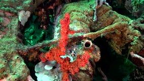 丑角sweetlips,在珊瑚的被察觉的sweetlips Plectorhinchus chaetodonoides在祖鲁族人海朗芒芽地 影视素材