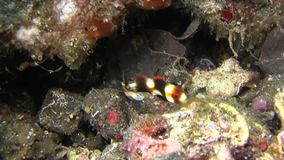 丑角sweetlips,被察觉的sweetlips Plectorhinchus chaetodonoides少年在Lembeh海峡 股票录像