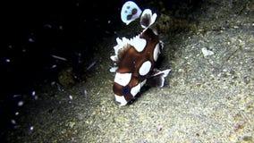 丑角sweetlips,跳舞夜的被察觉的sweetlips Plectorhinchus chaetodonoides在Lembeh海峡 影视素材