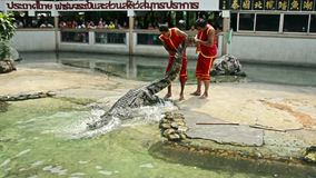 专业教练员设法扯拽大淡水鳄鱼,但是在泰国偶然地跌倒 股票视频