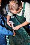 专家显示收集鱼子酱他的技术从鲟鱼鱼 图库摄影
