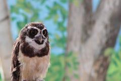 专心地注视一头南美戴了眼镜的猫头鹰 库存照片