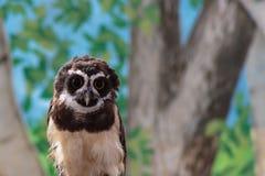 专心地注视您的一头南美戴了眼镜猫头鹰 库存照片