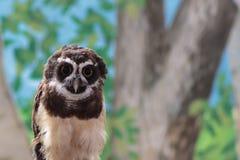 专心地注视您hypnotica的一头南美戴了眼镜猫头鹰 免版税图库摄影