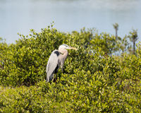 专心地观看的伟大蓝色的苍鹭的巢 库存照片