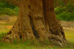 世俗ulivo庄严树干在半岛意大利人salentina的 免版税库存照片