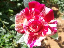 世界多数美丽的花 库存图片