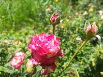 世界多数美丽的花 免版税库存照片