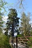 世界最大的云杉的树,湖Quinault,华盛顿州 库存照片