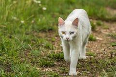 世界的奇怪的眼睛多数美丽的白色猫与一双蓝眼睛的和虹膜异色症的一个黄色眼睛似猫的形式 库存照片