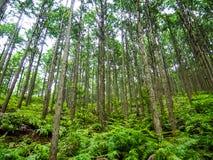 世界遗产名录森林Kumano Kodo在日本在5月 免版税库存图片