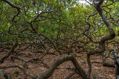 世界` s最大的腰果树- Pirangi,北里约格朗德,巴西 库存照片