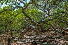 世界` s最大的腰果树- Pirangi,北里约格朗德,巴西 库存图片