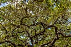 世界` s最大的腰果树- Pirangi,北里约格朗德,巴西 图库摄影