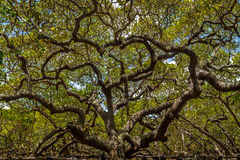 世界` s最大的腰果树- Pirangi,北里约格朗德,巴西 免版税库存照片