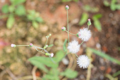丘比特的剃须刷植物顶视图 库存照片