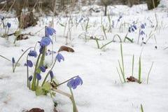 丛在开花初的西伯利亚海葱 库存图片