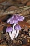 丛在雨林地板上的紫色真菌 库存图片