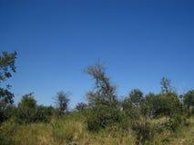 丛林和草在非洲原野风景 免版税图库摄影