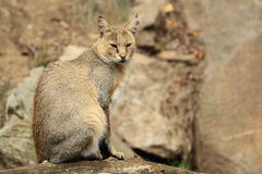 丛林猫 免版税库存图片
