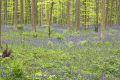 丛林蕨和会开蓝色钟形花的草 免版税库存图片