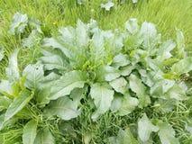 丛生在绿草中的年轻植物名弹簧 库存图片