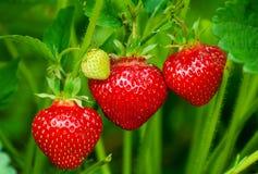 丛生草莓 库存图片