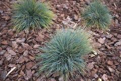 丛生草glauca植物在花圃里 库存图片