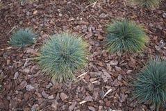 丛生草glauca植物在花圃里 免版税库存图片
