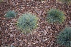 丛生草glauca植物在花圃里 库存照片
