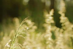 丛生草pratensis,干草对夏天 免版税库存图片